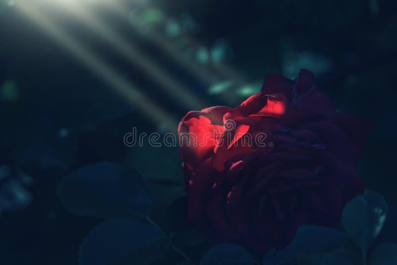 Los rayos de Sun caen sobre rosa del rojo en sombra oscura imágenes de archivo libres de regalías