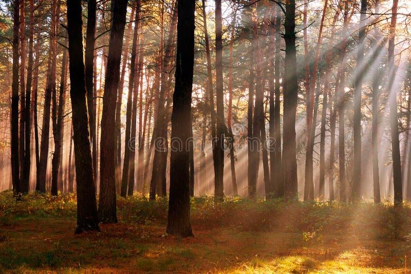 Los rayos del sol que se rompen a través de los árboles en el bosque del pino adentro fotografía de archivo