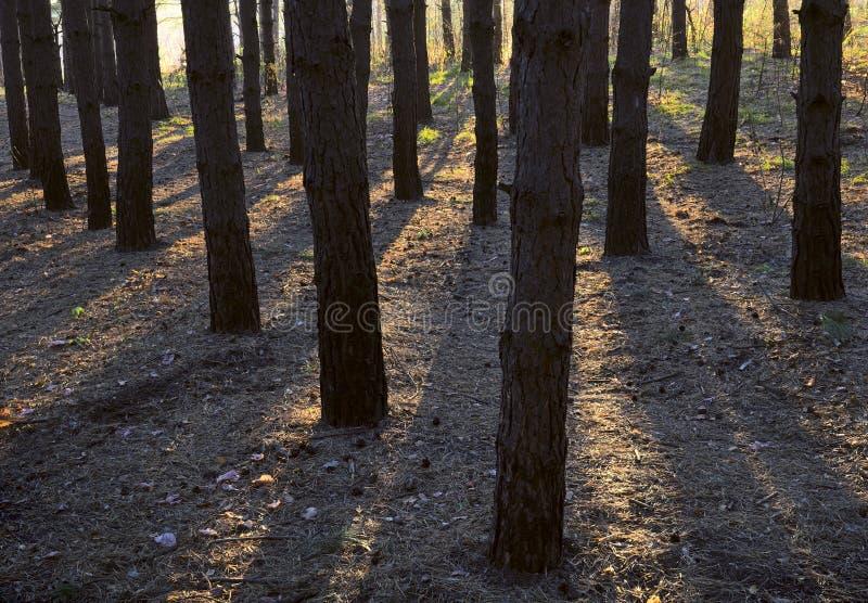 Los rayos del sol a través de los troncos de los pinos foto de archivo libre de regalías