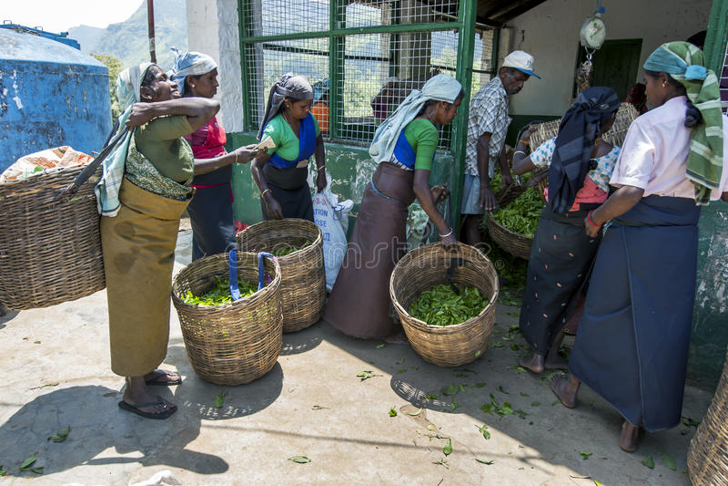 Los recogedores del té traen en su trabajo de las mañanas para ser pesados en una estación de la plantación cerca de Nuwara Eliya imágenes de archivo libres de regalías