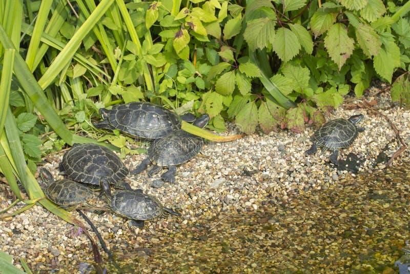 los resbaladores Rojo-espigados toman el sol en el sol en las rocas en la charca del lago Una multitud de tortugas en la orilla s foto de archivo