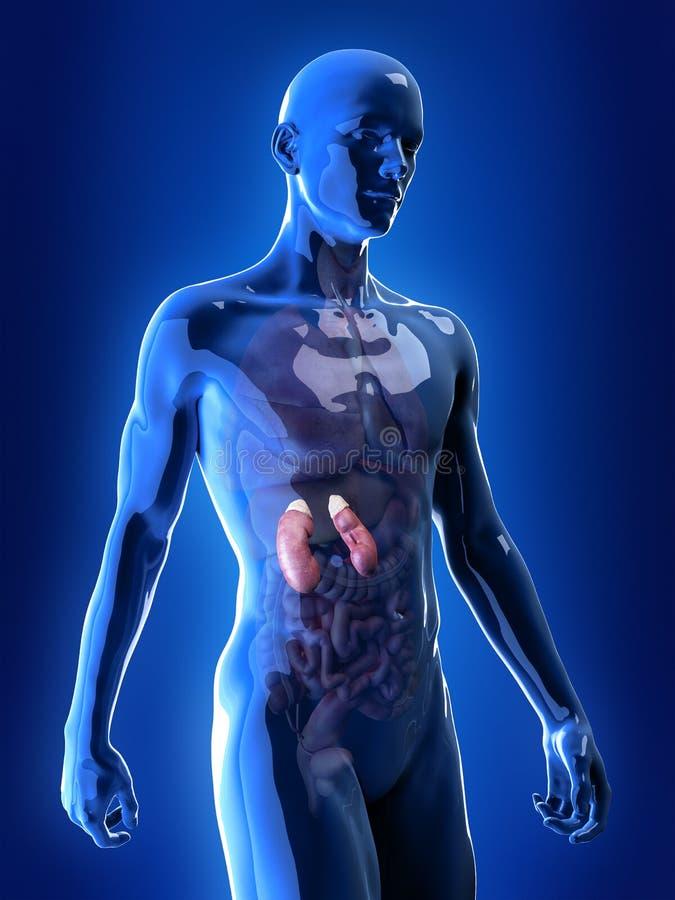 Los riñones ilustración del vector