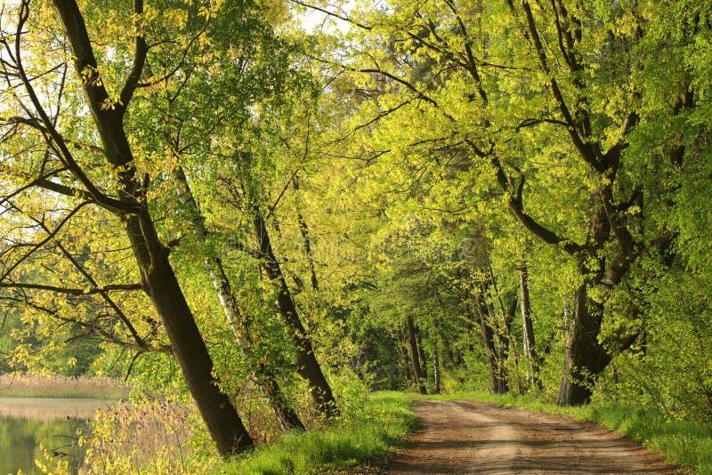 Los robles de la primavera cubrieron con las hojas frescas por la mañana fotografía de archivo