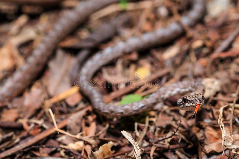 los rubescens Quilla-hinchados de Dryophiops de la serpiente de azote encontraron en el piso del bosque en selva tropical malasia foto de archivo