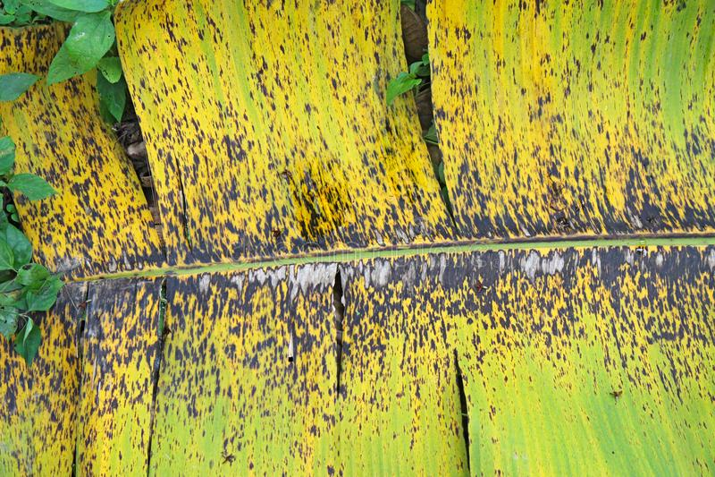 Los síntomas de la hoja negra rayan en una hoja del plátano imagen de archivo