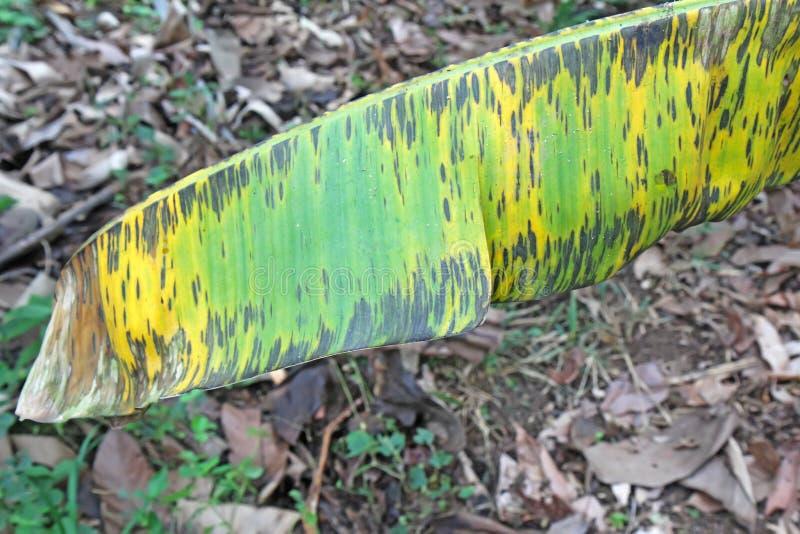 Los síntomas de la hoja negra rayan en una hoja del plátano foto de archivo