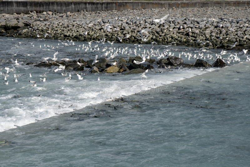 Los salmones de Alaska saltan encima del vertedero de pescados de color salmón - Solomon Gulch fotografía de archivo