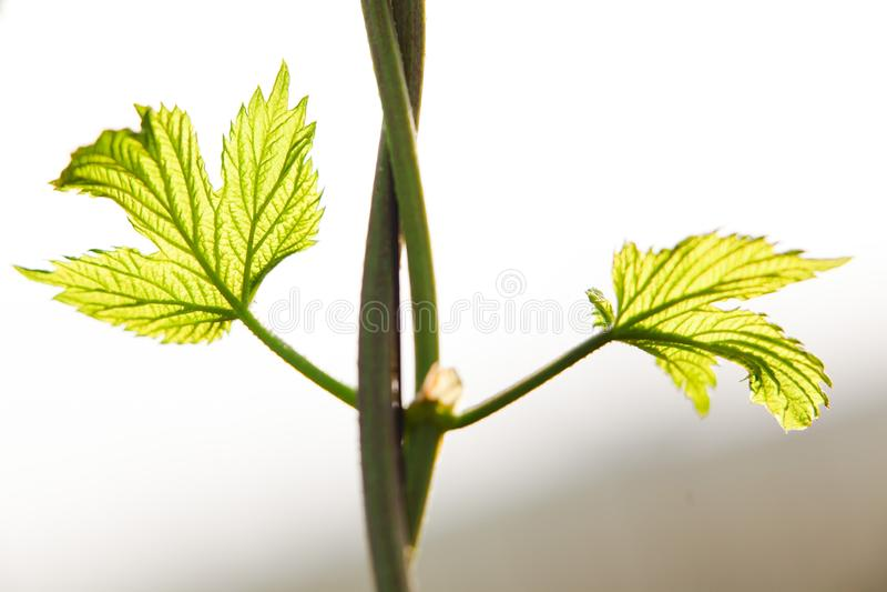 Los saltos crecientes detallan de las hojas del salto Campo de saltos jovenes en Eslovaquia durante la primavera imagen de archivo libre de regalías