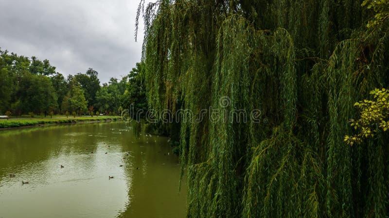 Los sauces verdes crecen en la orilla del lago fotografía de archivo