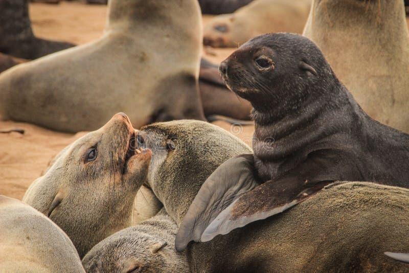 Los sellos lindos se divierten en las orillas del Océano Atlántico en Namibia fotos de archivo libres de regalías