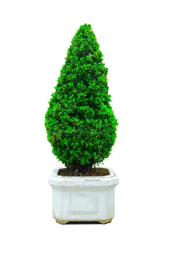 Los setos hermosos del enano del cono cortaron el árbol verde en un pote de cerámica blanco cuadrado aislado en el fondo blanco fotos de archivo libres de regalías