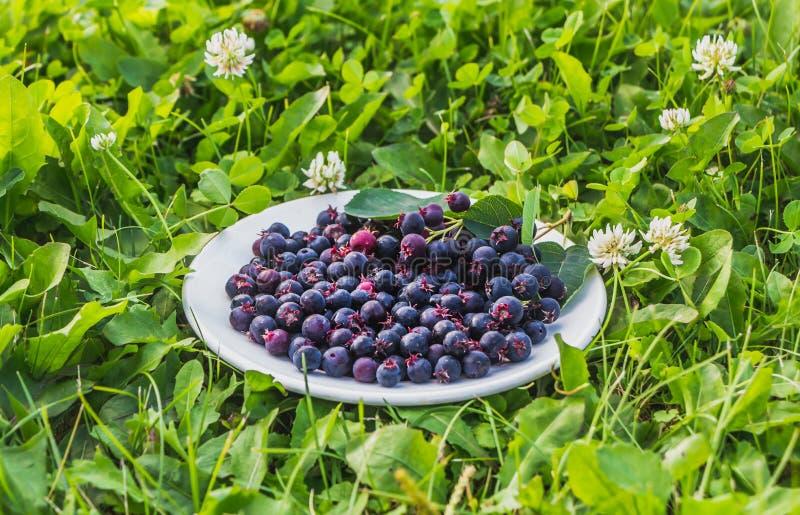 Los shadberries maduros negros frescos están en una placa blanca en un fondo de la hierba verde en el jardín en verano fotos de archivo libres de regalías
