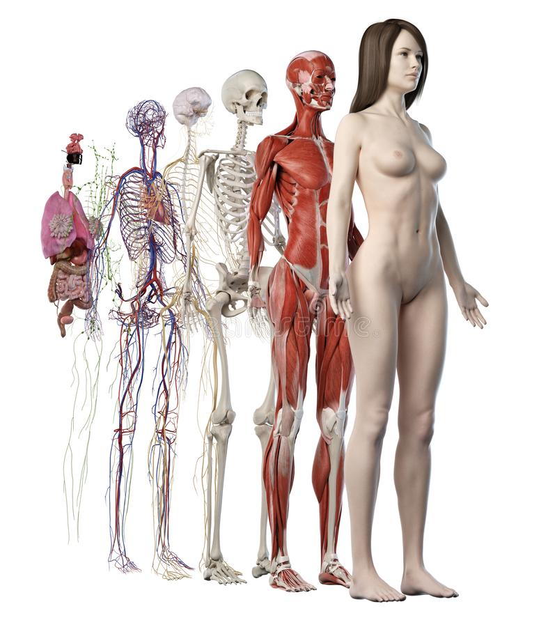 los sistemas anatómicos femeninos libre illustration