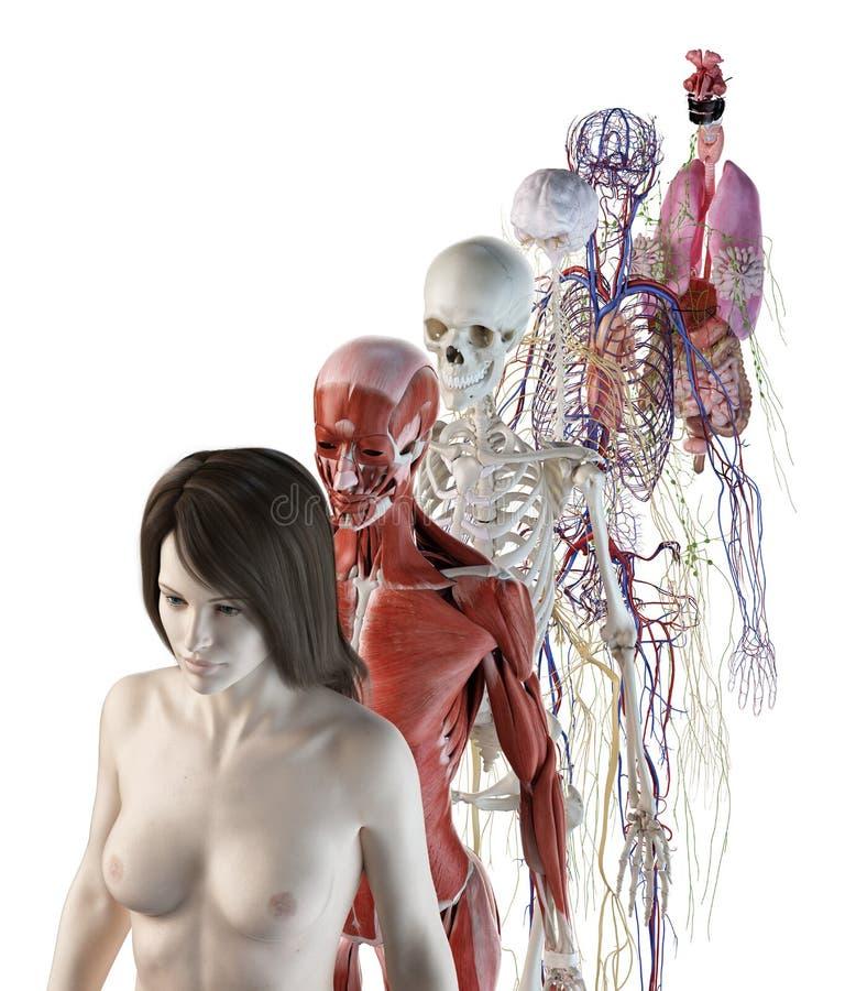 Los sistemas anatómicos femeninos stock de ilustración