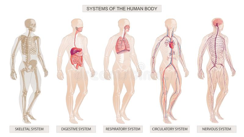Los sistemas circulatorios, sistemas esqueléticos, nerviosos, digestivos del cuerpo humano del ejemplo del vector ilustración del vector