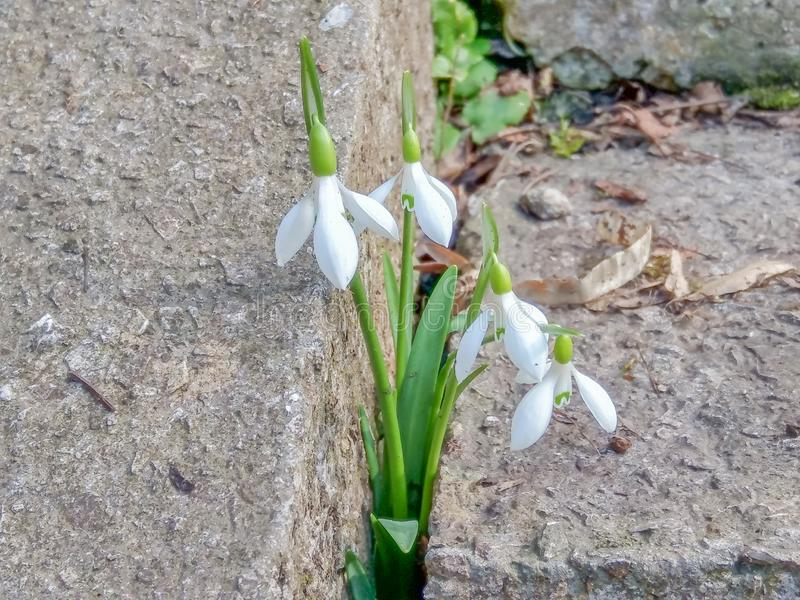 Los snowdrops blandos hicieron su manera a través del hormigón hacia la primavera fotografía de archivo libre de regalías