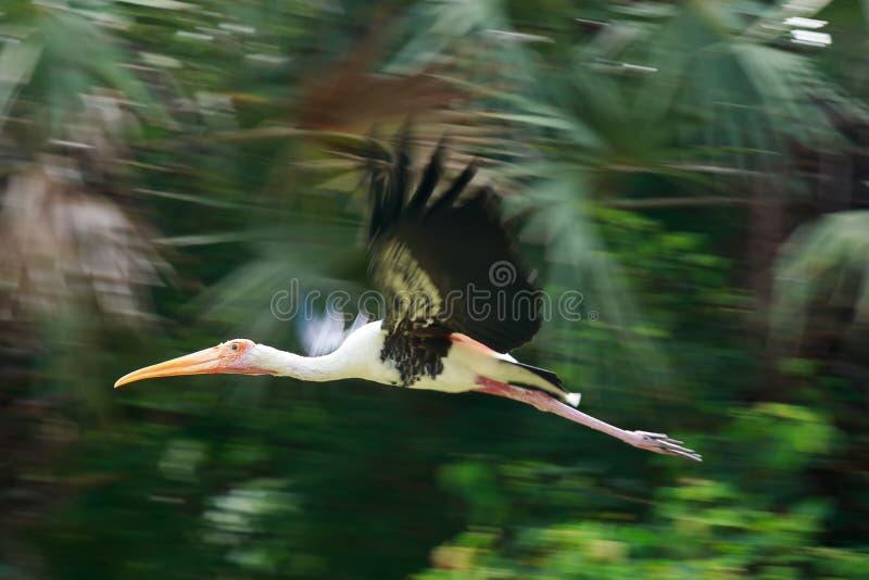Los solos pelícanos vuelan sobre intento del río del lago para coger pescados Pelícano fotografía de archivo