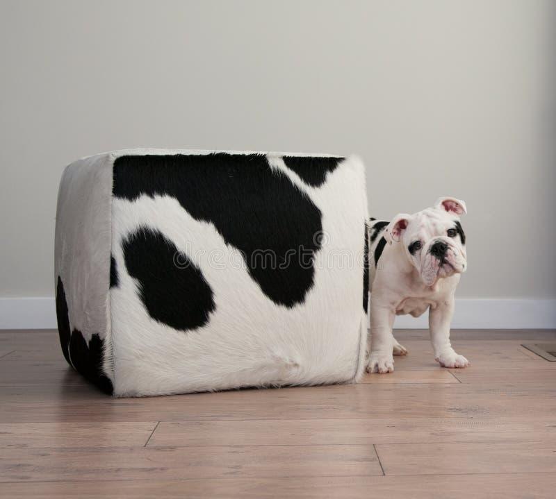 Los soportes blancos y negros del perro de perrito del dogo al lado de la vaca ocultan ottoma fotografía de archivo libre de regalías