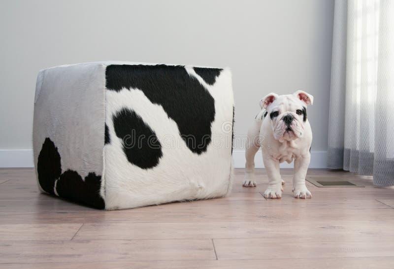 Los soportes blancos y negros del perro de perrito del dogo al lado de la vaca ocultan ottoma fotos de archivo libres de regalías