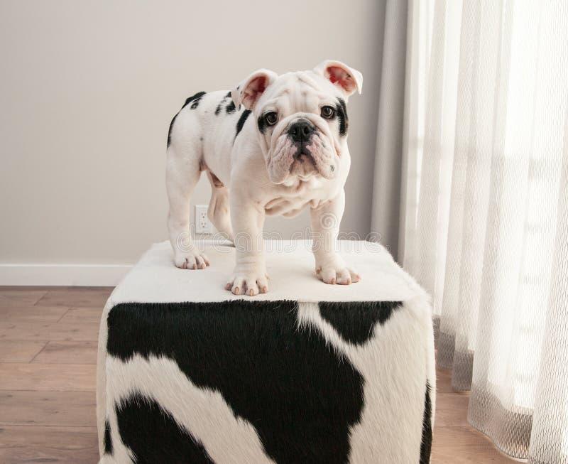 Los soportes blancos y negros del perro de perrito del dogo en vaca ocultan el otomano imagenes de archivo