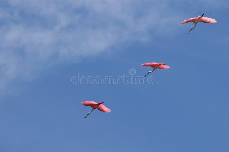 Los spoonbills rosados rosados vuelan en una línea de la formación fotos de archivo