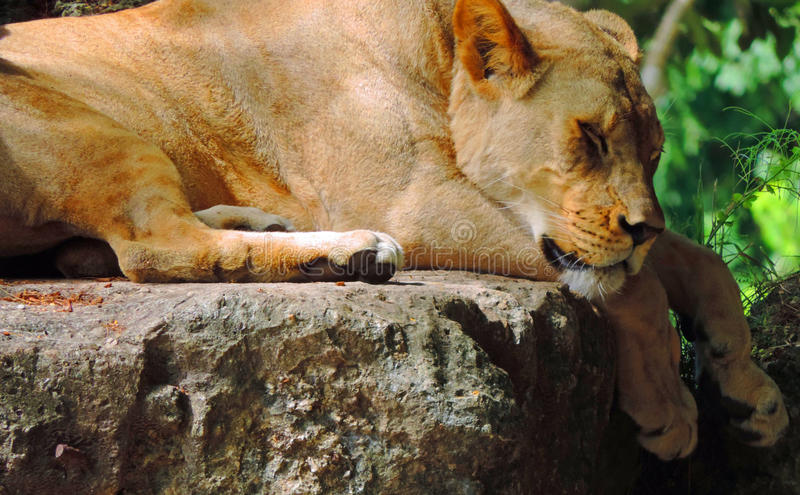 Los sueños del león foto de archivo libre de regalías