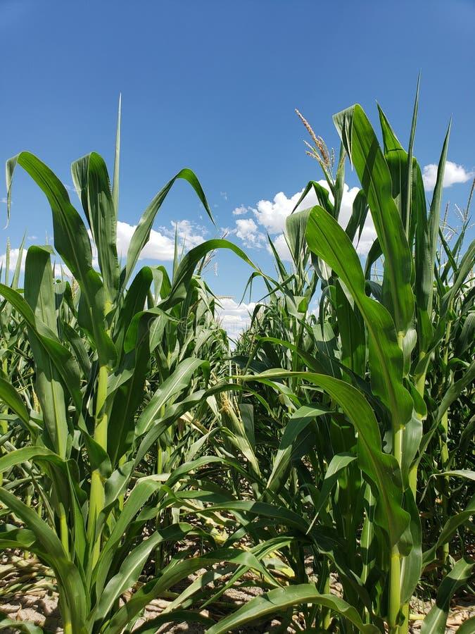 Los tallos altos del maíz verde que se colocan en granjeros colocan foto de archivo