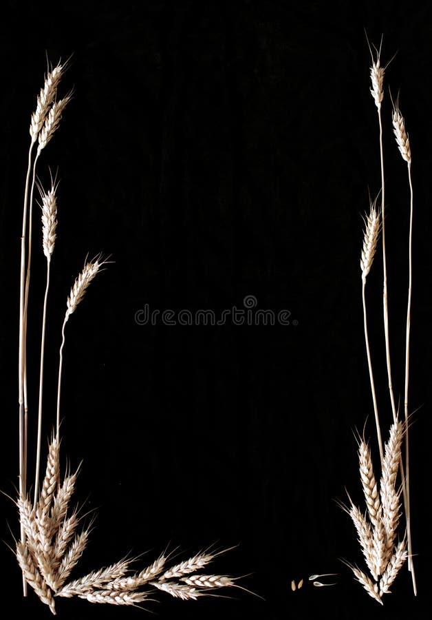 Los tallos amarillos secos del trigo en un fondo negro foto de archivo libre de regalías