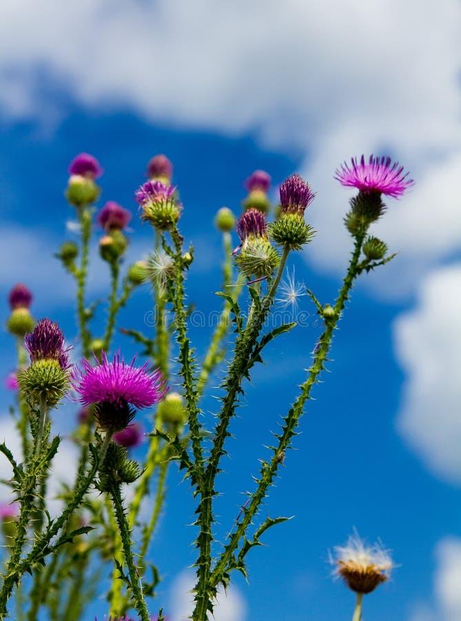 Los tallos clavados del cardo con las ramas florecientes crecen a un cielo azul foto de archivo