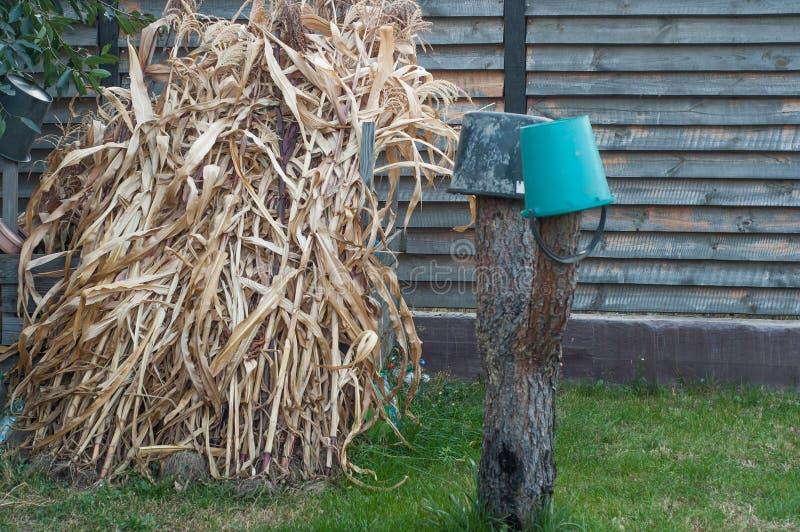 Los tallos de maíz secos se están preparando para el compostaje. Secado de plantas viejas para su posterior descomposición imagen de archivo