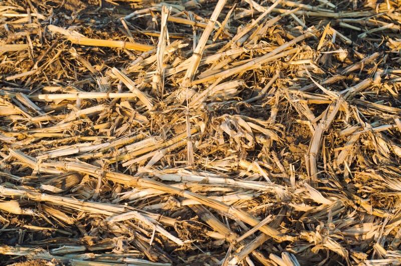 Los tallos secos secados del maíz mienten en el piso comida para los conejos, fondo para el diseño fotografía de archivo libre de regalías