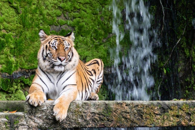 Los tigres siberianos están descansando sobre la piedra imagen de archivo