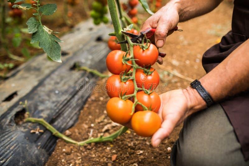 Los tomates en el jardín se cortan con las tijeras en mano del hombre antes de los colections para las ventas Huerto con las plan fotografía de archivo libre de regalías