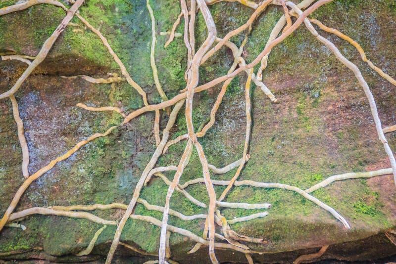 Los toques de bocina de la orquídea cubren la piedra con el fondo cubierto de musgo verde Vagos enredados imagen de archivo