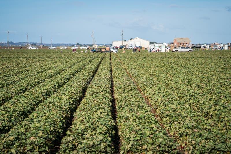 Los trabajadores de granja estacionales migratorios inmigrantes escogen y empaquetan la fruta y verdura que trabaja en los campos fotografía de archivo