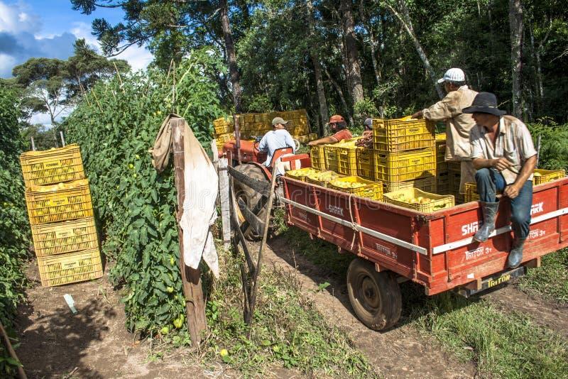 Los trabajadores de granja llegan en los campos del tomate foto de archivo