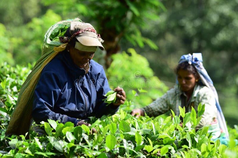 Los trabajadores del jardín de té de las mujeres despluman té imagenes de archivo