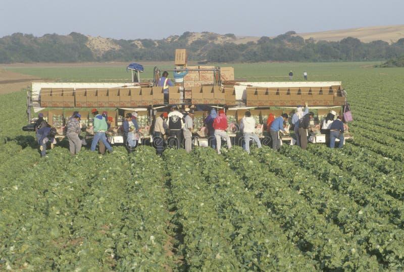 Los trabajadores emigrantes cosechan cosechas imagen de archivo
