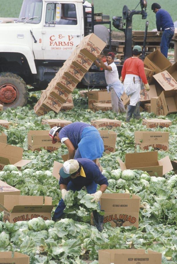 Los trabajadores emigrantes cosechan cosechas foto de archivo libre de regalías
