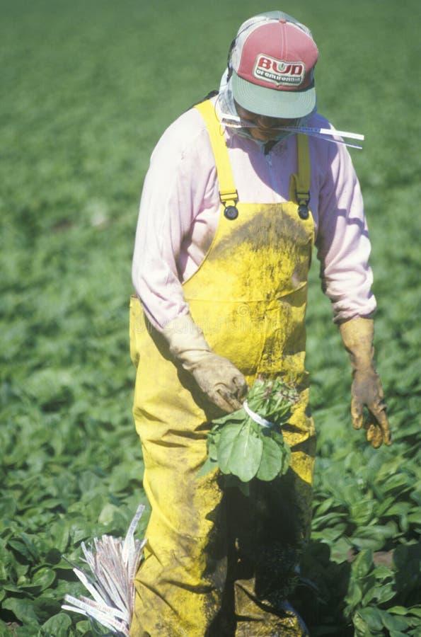Los trabajadores emigrantes cosechan cosechas foto de archivo