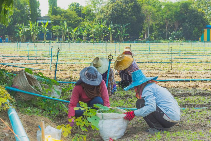 Los trabajadores están ayudando a coger verduras fotos de archivo