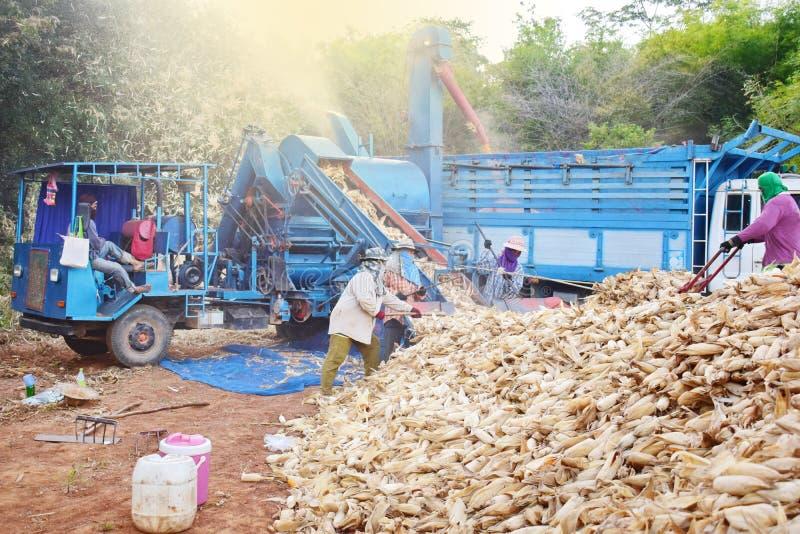 Los trabajadores están cosechando el maíz imagen de archivo libre de regalías