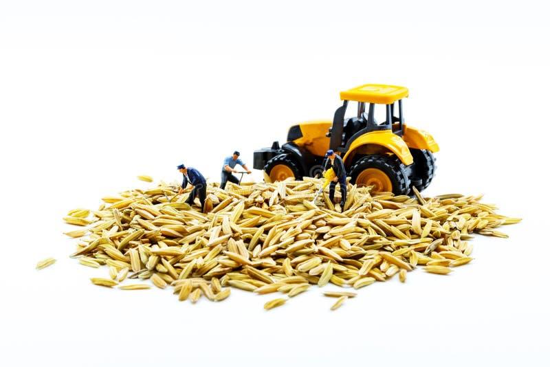 Los trabajadores miniatura combinan el trabajo con arroz en un fondo blanco imágenes de archivo libres de regalías