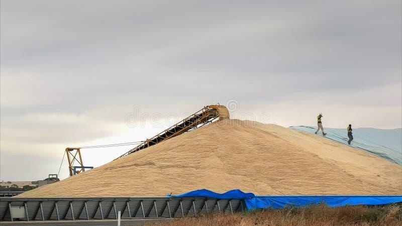 Los trabajadores se apresuran para cubrir la parte de la cosecha del trigo con las lonas foto de archivo libre de regalías