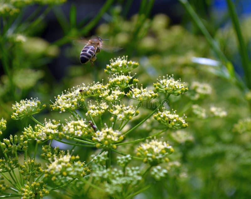 Los trabajos de la abeja imágenes de archivo libres de regalías