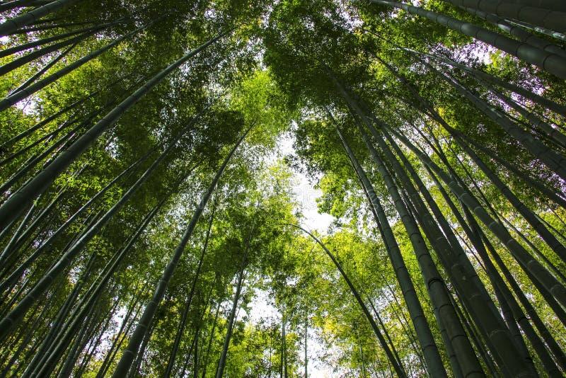 Los troncos de árbol de bambú alcanzan para el cielo imagen de archivo