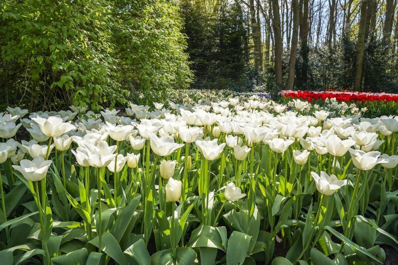 Los troncos de estos tulipanes presentan orgulloso sus flores blancas grandes foto de archivo libre de regalías