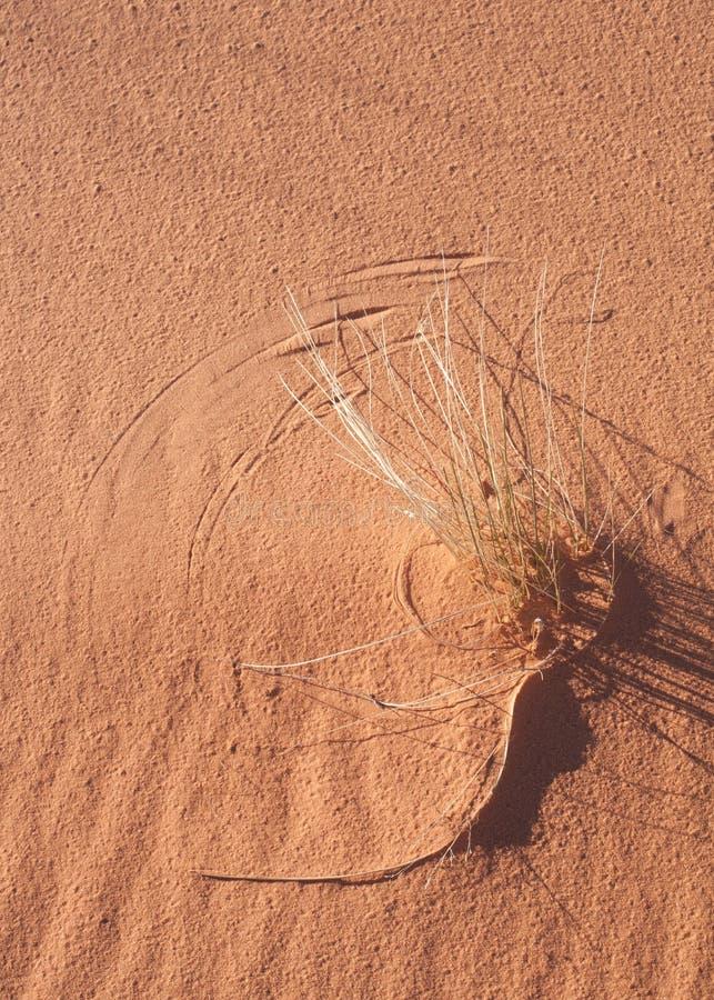 Los troncos de la hierba salvaje con las hojas del sacacorchos crean líneas semicirculares en duna de arena en Utah meridional imagenes de archivo