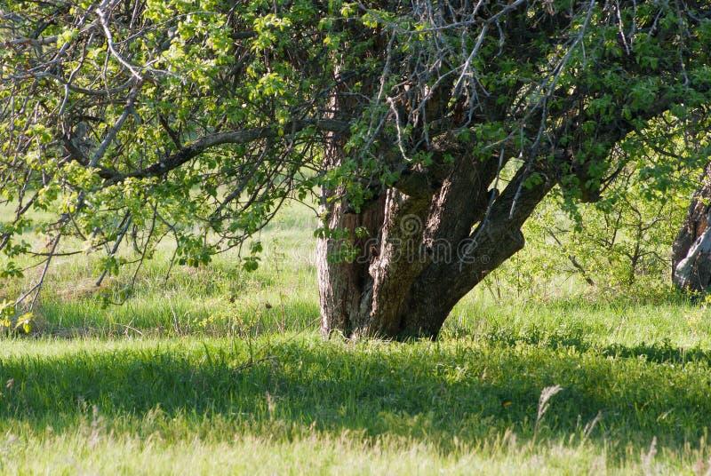 Los troncos de un manzano en una primavera cultivan un huerto foto de archivo