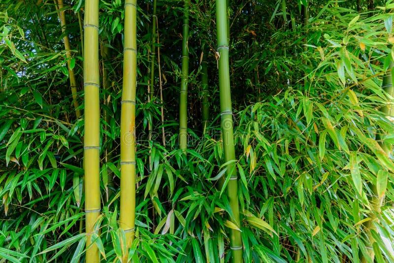 Los troncos del bambú verde con las hojas largas crecen de la tierra gris imagen de archivo libre de regalías